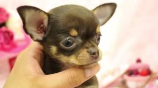 スムースチワワ 全国優良ブリーダーの子犬紹介サイト『みんなのブリーダ...