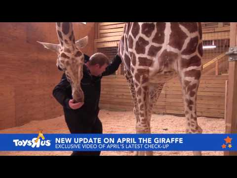 April the Giraffe sees Dr. Tim