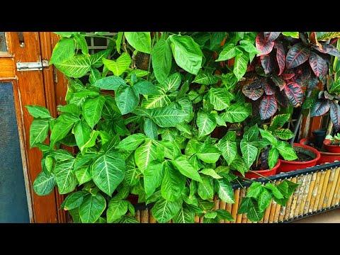 How To Grow And Care Arowhead / Syngonium Plant || Fun Gardening