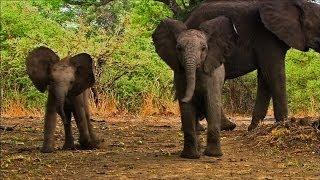 Play-Fighting Baby Elephants