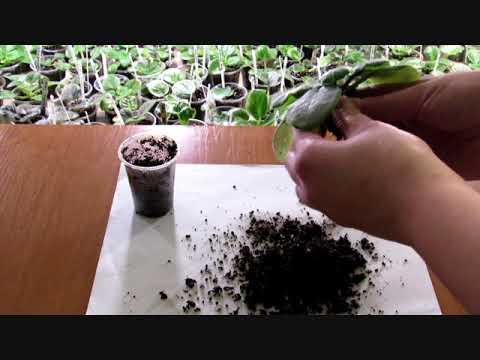 Как выглядит корень фиалки