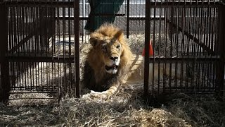 Rescued Circus Lions Get a Chance at a New Life