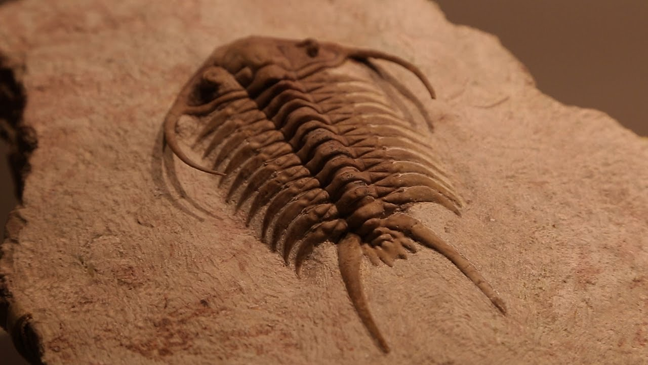 rare fossils of ancient trilobites youtube