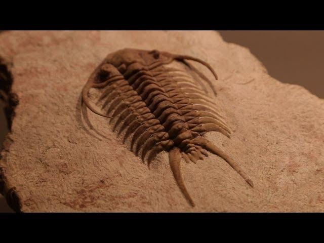 Rare Fossils of Ancient Trilobites
