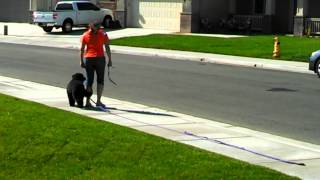 Loose Leash/off Leash Training Made Easy With A Breed Apart Dog Training