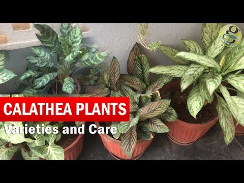 Calathea Plants Varieties and Identification | How to Grow and Care Calathea in English with CC