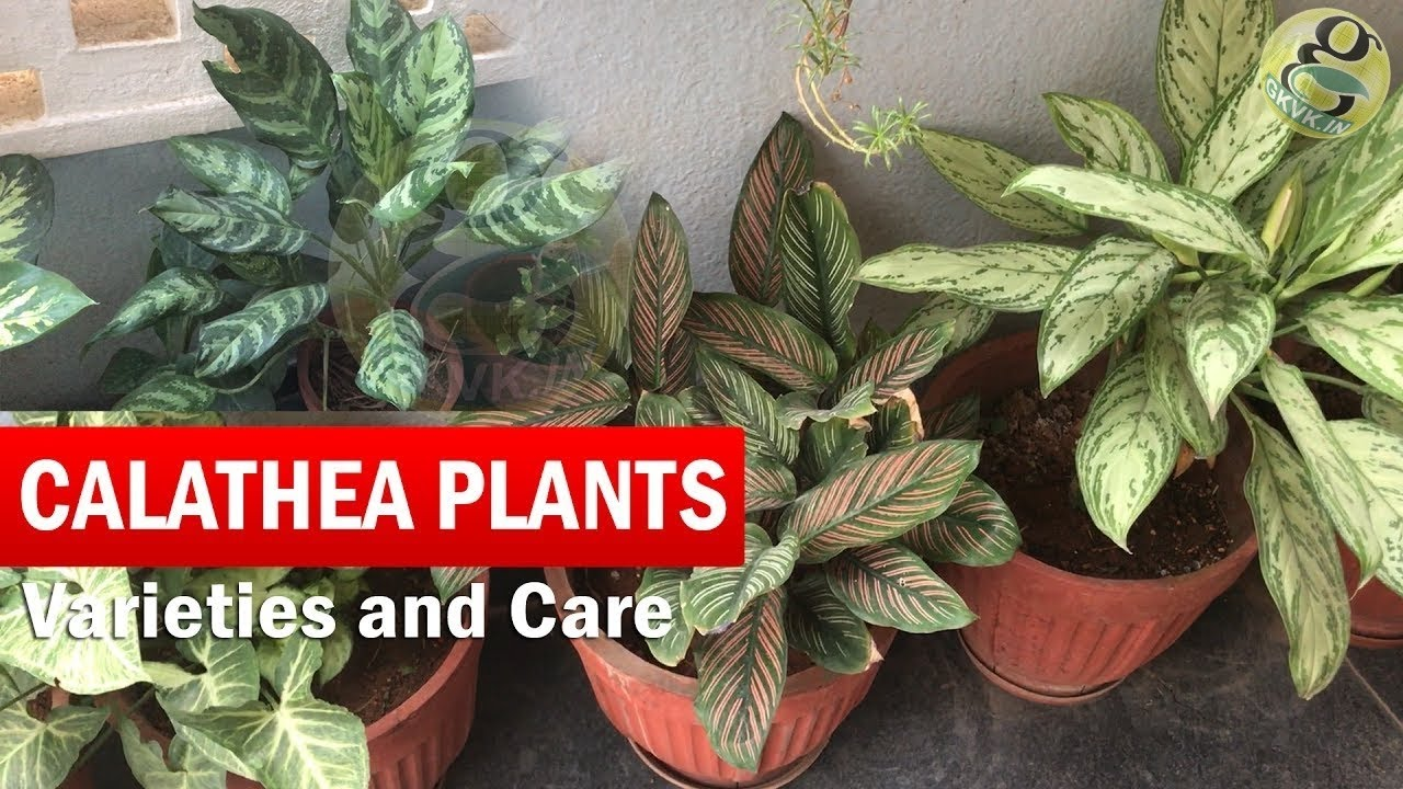 Calathea plants varieties and identification how to grow - Interior plant maintenance contract ...