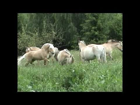 Norwegian fjordhorse release, horsemating. - YouTube