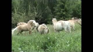 Norwegian fjordhorse release, horsematin...