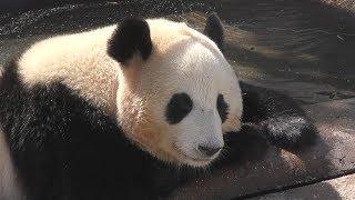 【露天パンダ🛀✨】🐼結浜🎀まったりリラックス✨【お姉さんパンダ】Giant Panda -Yuihin-☆Bath time🛀✨