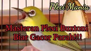 Gambar cover Masteran Pleci Buxtoni Biar Gacor Parah!!!