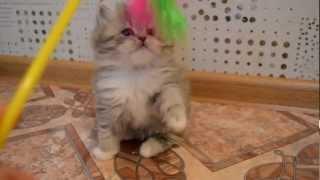 Питомник шотландских и британских кошек Cat's Perfection