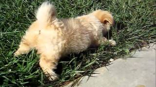 Cutest Little Furball Puppy Playing With Grass! Cutest Ever!!!