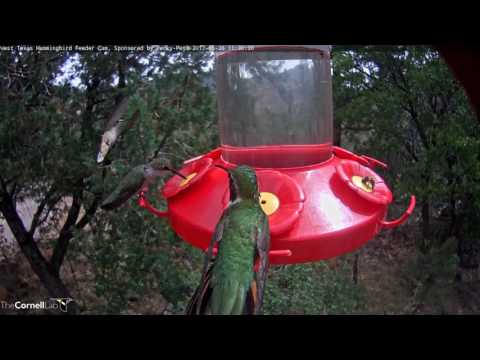 Male Broad-tailed Hummingbird Flutters From Port to Port – May 26, 2017