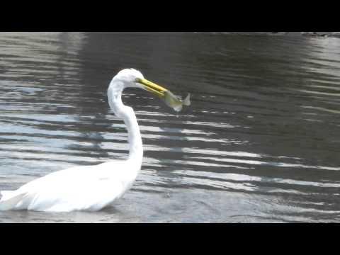 Crane catching a fish!!!