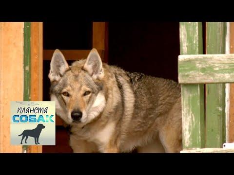 Вопрос: Откуда в наших лесах (РФ) появились волкособы?