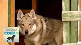 Чешский волчак. Питомник С Мыса Доброй Надежды - YouTube
