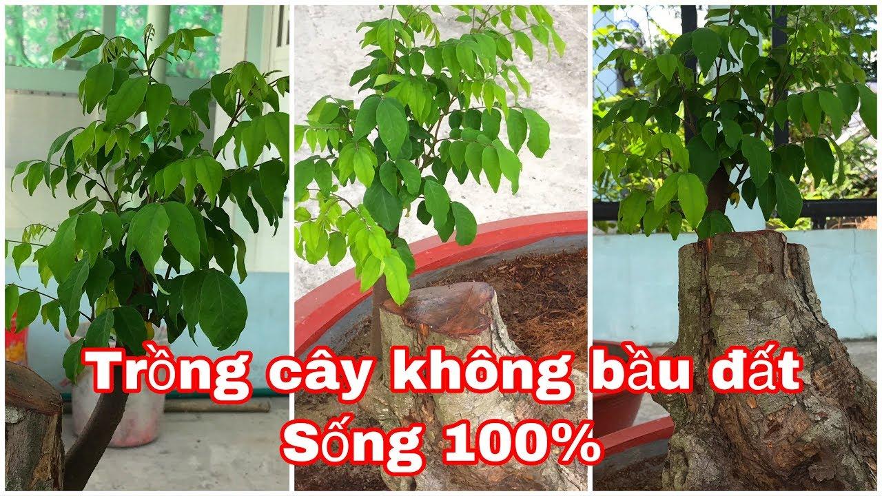 Cách trồng cây không bầu đất sống 100% Những anh em mới chơi cây kiểng cần phải biết