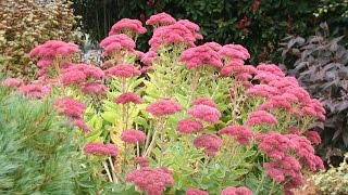 How to propagate Sedum