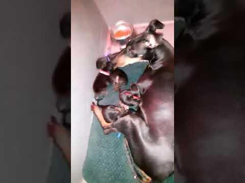 Manchester Terrier pups newborns Moonshadows