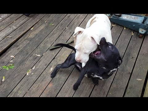 Pitbull VS American Staffordshire Terrier Fight!!! Huge Bully Goes Nose to Nose With Stafforshire!