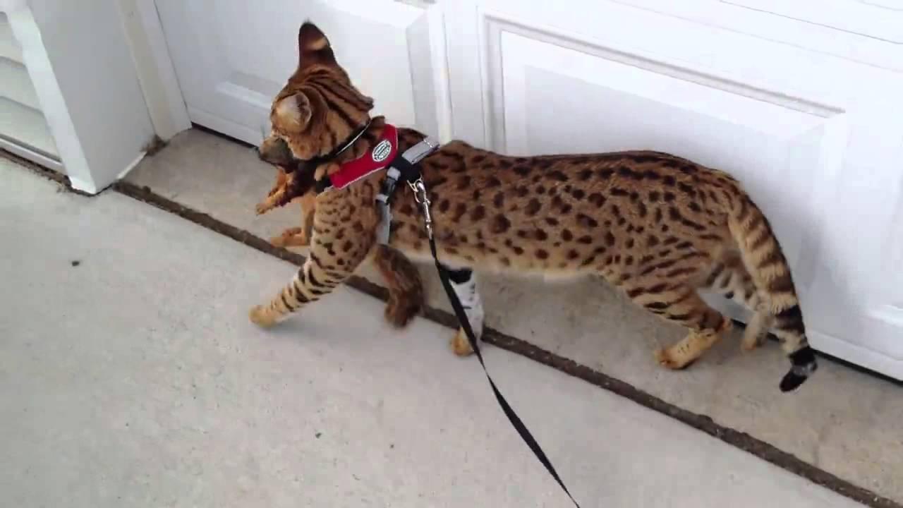 Порода кошек саванна: описание и характер, цена, особенности и .