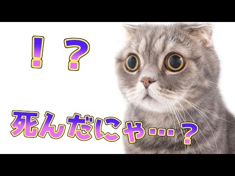 【実写】愛猫の前で死んだふりをしたら衝撃の結果に… 【マンチカン 猫 / munchkin cat】