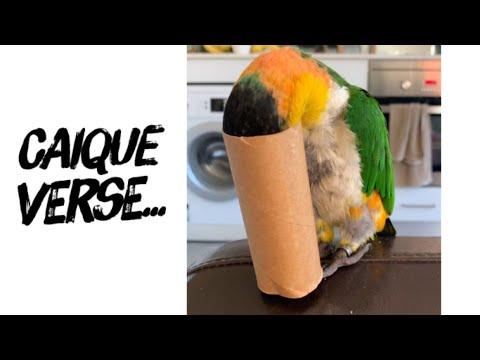 Scout the Caique Parrot loves toilet paper rolls as much as Australians do!