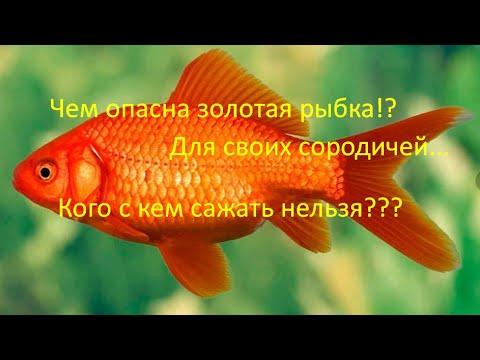 Не всех золотых рыбок можно содержать вместе!!!