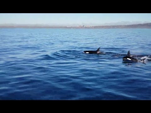 Killer Whales Live Whale Watching Broadcast