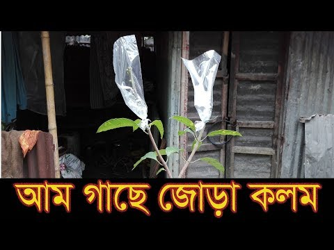 আম গাছে জোড় কলম করার পদ্ধতি | How to mango grafting in easy way