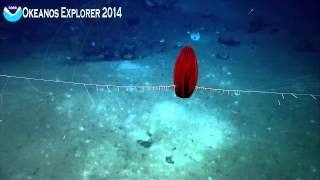 Comb Jelly (ctenophore)