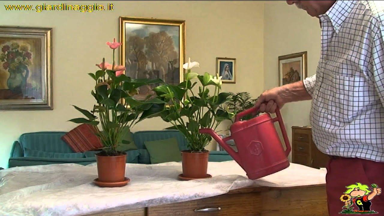 Anthurium Cura Della Pianta anthurium - piante da interno - come curare l'anthurium