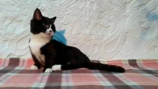 Манчкин котенок-такса с короткими лапками