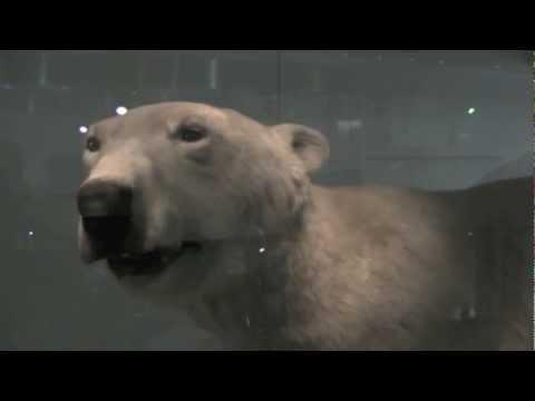 Peter the Polar bear @ the Ulster museum, Belfast