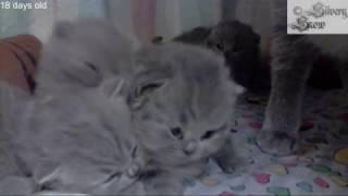 Очень маленькие британские Котята Прямая Трансляция