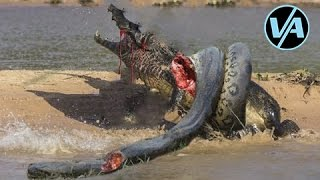 Video Aneh Ular Anaconda Makan Buaya Nyata! Melawan Ular Python Nyata!