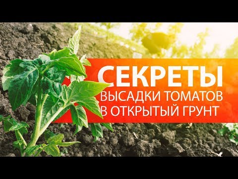Секреты посадки штамбовых и среднерослых томатов в грунт   пасынкования   засолочные   подвязки   открытом   томатов   рассада   высадка   томаты   томато   отзывы
