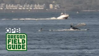 Humpback Whales In Columbia River