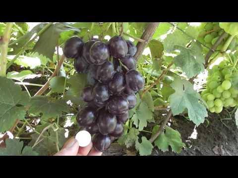 Черный ворон и Красная планета - новая гибридная форма винограда Голуба Анатолия Алексеевича