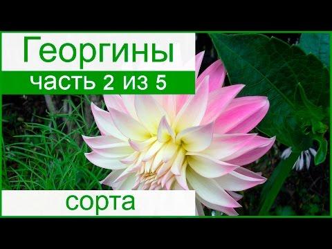 Виды и сорта георгинов – описание и названия