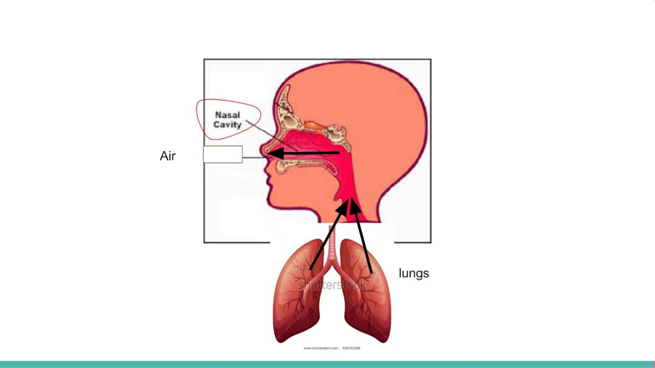 How your nose works timiznceptzmusic how your nose works ccuart Images