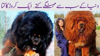 Most Expensive Dog Breeds in the World - Amazing Pakistan in Urdu Documentary, Education