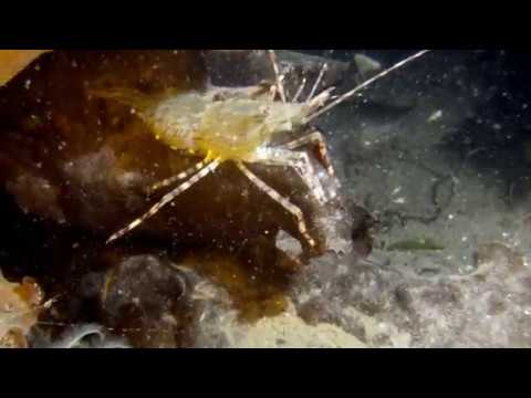 it's-shrimp-season-and-the-spotted-prawns-and-striped-shrimp-are-growing-in-numbers...