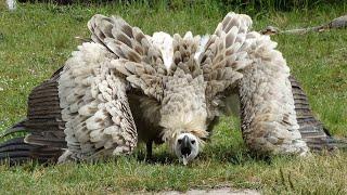 Самые большие хищные птицы на планете! Огромные птицы хищники