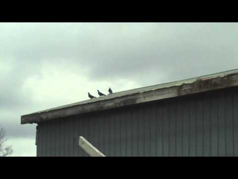 Air Rifle Bird Hunting