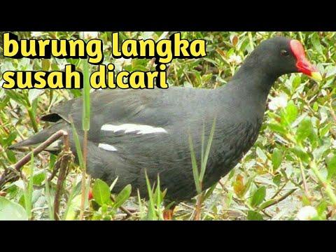 Suara Pikat Burung Mandar Atau Ayam Ayaman Sawah Burung Langka Youtube