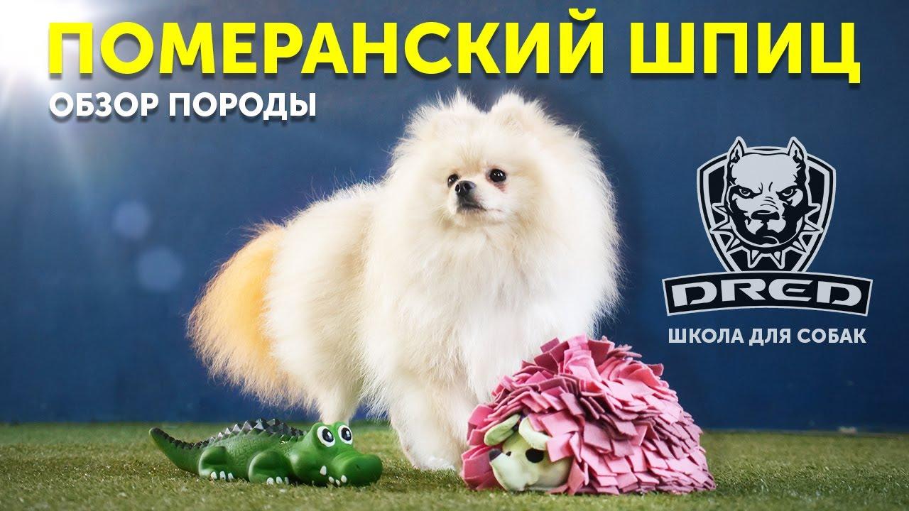 Обзор породы Померанский шпиц   Особенности породы   Стоит ли покупать   Школа для собак DRED
