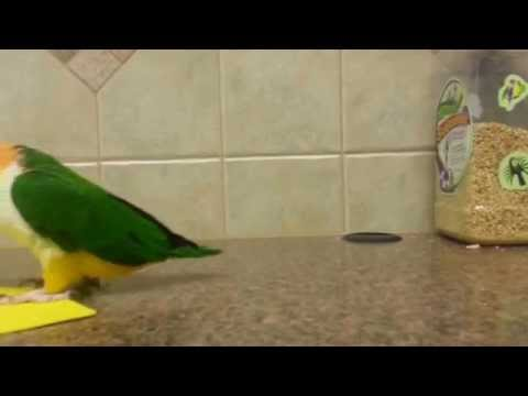 Cute Caique Parrot Learns His Colors