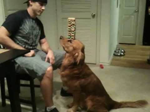 Dog balancing treats. The stacking of 36 treats, Jenga dog